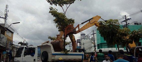 Prefeitura realiza transplante de ipê da Djalma Batista em virtude das obras de drenagem